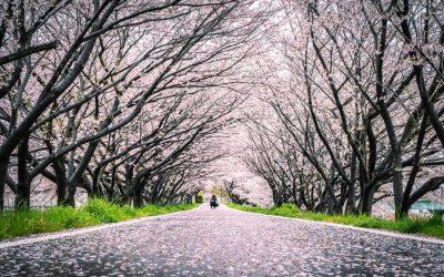 【桜の穴場名所】姫路にある桜のトンネルが映えまくる!