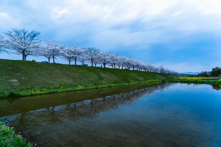【4kmの桜トンネル】おの桜づつみ回廊の絶景ポイント