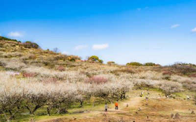 【たつの市】綾部山梅林が西日本一美しい梅林と言われるワケ