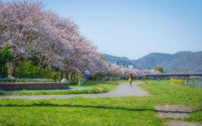 【姫路市】夢前川サイクリングロードの長い桜回廊
