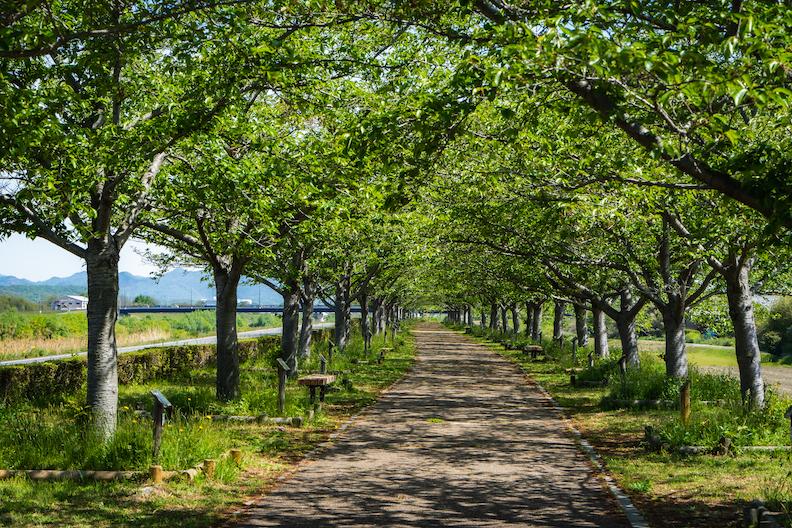 【新緑も凄い!】小野市・おの桜づつみ回廊の緑のトンネルが幻想的